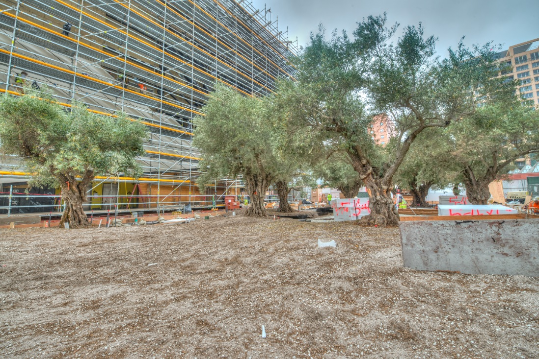 Plaza under construction with 100-year old Barouni olive trees; photo by Nathaniel  Riley, 6/30/14